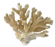 Koralle auf weißem Hintergrund lizenzfreie stockbilder