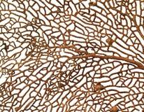 Koralle auf weißem Hintergrund Lizenzfreies Stockfoto
