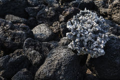Koralle befestigt zum Lavafelsen Lizenzfreies Stockbild