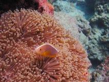 Koralle, Clownfish u. Seeanemone lizenzfreie stockbilder
