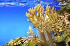 Koralle in einem Aquarium Stockbild
