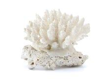 Koralle getrennt auf weißem Hintergrund Stockfotos