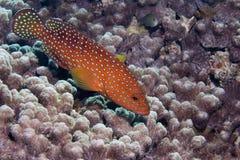 Koralle Hinter Lizenzfreie Stockfotografie