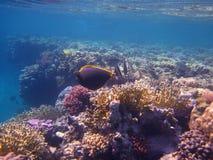 Koralle im Roten Meer Stockfotos