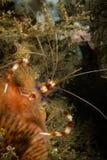 Koralle mit einem Band versehene Garnele Stockbild