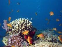 Koralle und Anthias Lizenzfreie Stockfotos