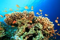 Koralle und Anthias Fische Lizenzfreie Stockbilder