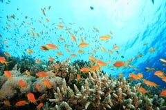 Koralle und Anthias Fische Lizenzfreies Stockbild
