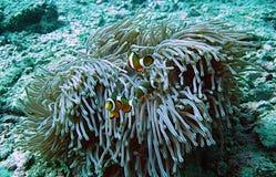 Koralle und clownfish Stockfotografie