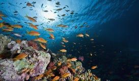 Koralle und Fische Lizenzfreie Stockfotos
