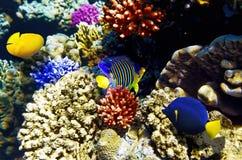 Koralle und Fische im Roten Meer. Ägypten, Afrika. Stockbild