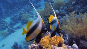 Koralle und Fische im Roten Meer stock footage