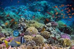 Koralle und Fische im Roten Meer Lizenzfreie Stockbilder
