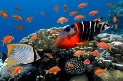 Koralle und Fische im Roten Meer Stockfoto