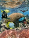 Koralle unter Wasseroberfläche mit tropischen Fischen Lizenzfreies Stockfoto