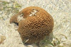 Korallen formas som en hjärna Kenya Mombasa royaltyfria foton