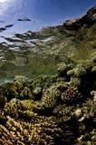 Korallen mit Oberflächenreflexion Stockfotos