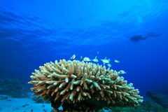 Korallen-und Fisch-und Unterwasseratemgerät-Taucher Lizenzfreie Stockbilder