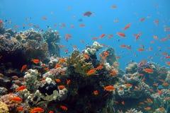 Korallen und Fische des Roten Meers Stockbild