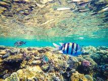 Korallen und Fische im Roten Meer, Ägypten Unterseeische Welt Gestreifte Fische im Vordergrund Lizenzfreie Stockfotografie