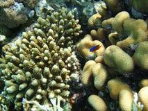 Korallen und junge Fische Stockfoto