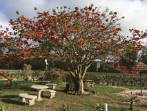 Korallenbaum dans le dafrika de ¼ de SÃ - Coral Tree en Afrique du Sud photo stock
