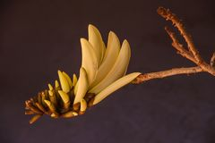 Korallenbaum Erythrina-lystemon Blume 2 Lizenzfreies Stockbild