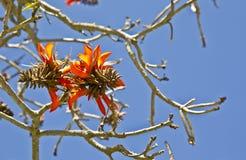 Korallenbaumblumen Stockfotografie