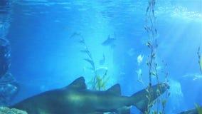 Korallenhaifisch und anderer Meeresfisch stock video