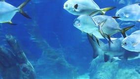 Korallenhaifisch und anderer Meeresfisch stock footage