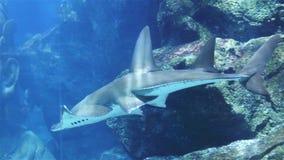 Korallenhaifisch und anderer Meeresfisch stock video footage