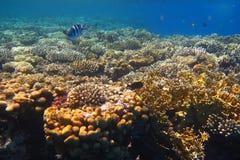 Korallenriff in Ägypten lizenzfreies stockbild