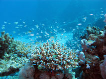 Korallenriff auf dem Meeresgrund an der großen Tiefe auf einem Hintergrund des blauen Wassers stockbild