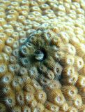 Korallenriff Blennyfischverstecken Stockfoto