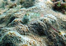 Korallenriff Blennyfischverstecken Lizenzfreie Stockfotos