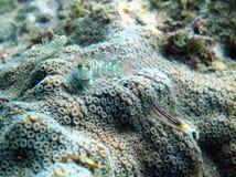Korallenriff Blennyfischverstecken Lizenzfreie Stockbilder