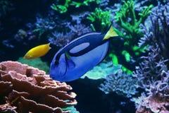 Korallenriff der taubenblauen Surgeonfishschwimmenvergangenheit Lizenzfreies Stockfoto