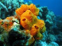 Korallenriff mit dem schönen großen orange Seeschwamm, Unterwasser Stockfotografie