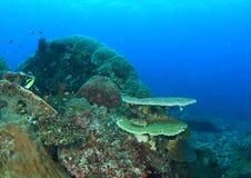 Korallenriff mit festen Tabellenkorallen Stockfoto