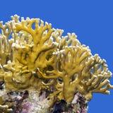 Korallenriff mit Feuerkoralle auf einem Hintergrund des blauen Wassers Lizenzfreie Stockbilder