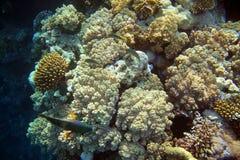 Korallenriff mit Fischen Lizenzfreie Stockfotos