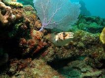 Korallenriff mit Gebläse-Koralle Lizenzfreies Stockbild
