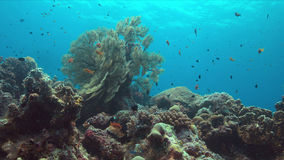 Korallenriff mit großem Seefächer Stockfoto