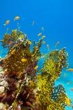 Korallenriff mit großer gelber Feuerkoralle und Fische an der Unterseite von tropischem Meer Lizenzfreie Stockbilder