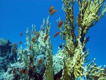 Korallenriff mit großer gelber Feuerkoralle und Fische an der Unterseite von tropischem Meer Stockfoto