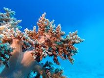 Korallenriff mit großer weicher Koralle an der Unterseite von tropischem Meer Lizenzfreie Stockfotos