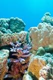 Korallenriff mit hartem korallenrotem violettem Acropora an der Unterseite von trop Stockbild