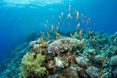 Korallenriff mit lyretail anthias Stockfotografie