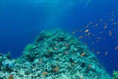 Korallenriff mit lyretail anthias Lizenzfreies Stockfoto