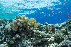 Korallenriff mit lyretail anthias Lizenzfreie Stockbilder